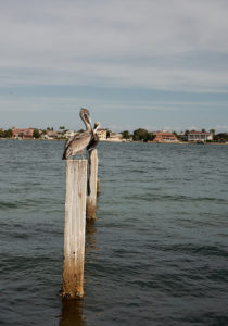 st_pete_florida_pelicans_jose_romero_wordintown_DSC04016
